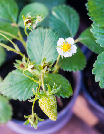 close uo: Flowering strawberry plant in a pot.