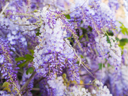 Purple wisteria plant growing in Portugal. Stock Photo