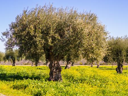 Olijfbomen (olea europaea) in het gebied van Alentejo, Portugal