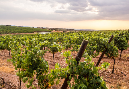 Vines in a vineyard in Alentejo region, Portugal, at sunset. Stok Fotoğraf