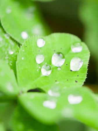 Raindrops on a clover leaf after rain, Madeira island, Portugal. Close up. Imagens