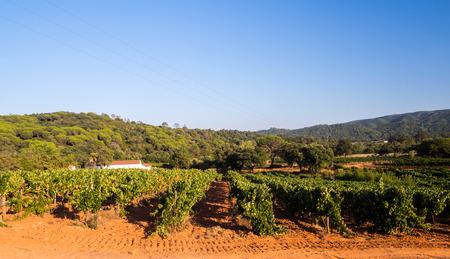 Grapevines in Setubal wine region in Portugal.