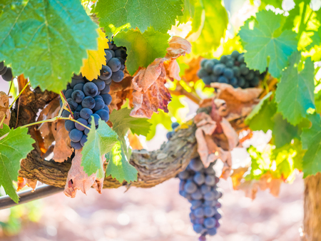 Bunches of red grapes growing in Setubal wine region, Portugal.
