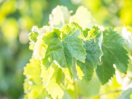 Grapevine in Setubal wine region in Portugal.