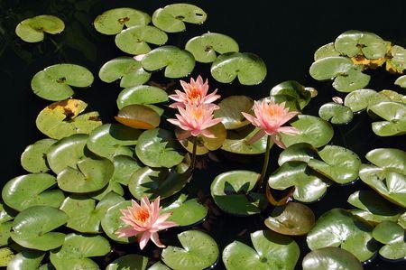 Lillypads Arboretum Nacional de Lilly flores de flor de pantano de parches  Foto de archivo - 5628554