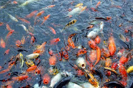 Vis vijver National Arboretum goud vis