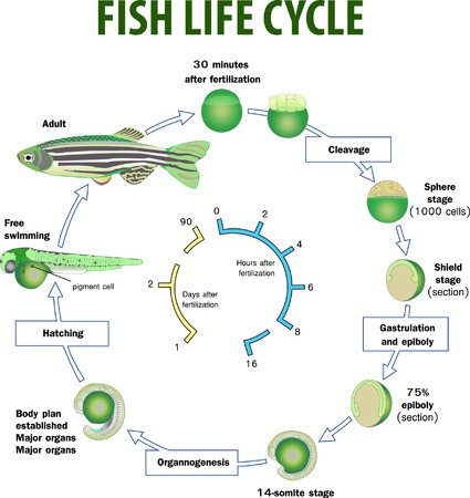 Vector illustration of Fish life cycle Vettoriali