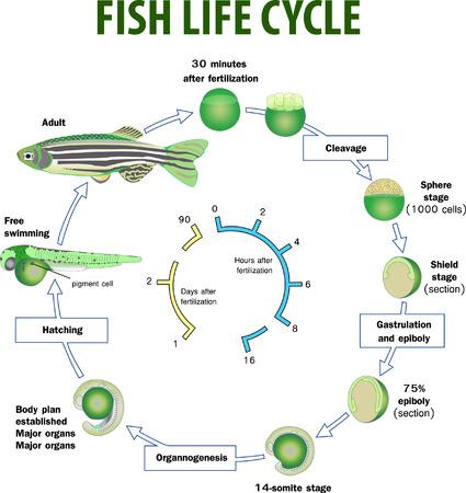 Illustrazione vettoriale del ciclo di vita dei pesci