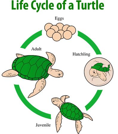 Vector illustratie van de Schildpad levenscyclus Vector Illustratie