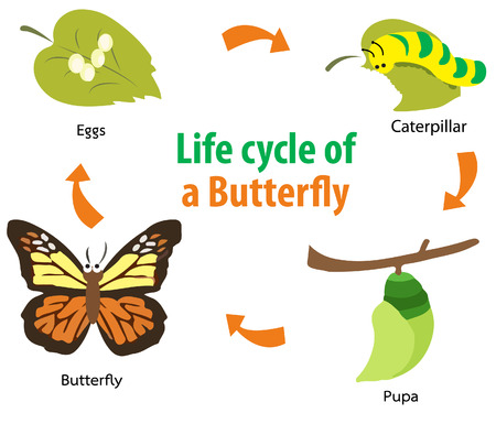 Vector illustration of  Butterfly life cycle Ilustração
