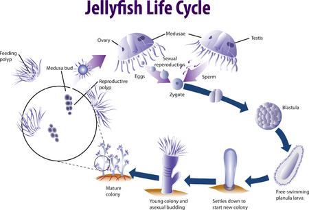Vector illustratie van Jelly vis levenscyclus Stock Illustratie