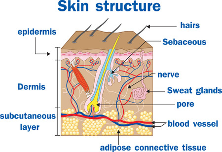 skin structure: Vector illustration of  Skin structure Illustration
