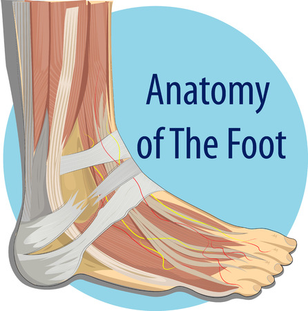 ilustración de la anatomía del pie Ilustración de vector