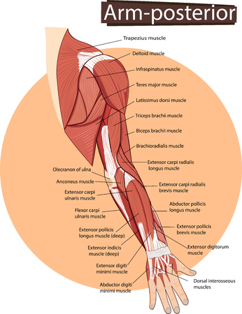 Illustration Of Arm Anatomy Royalty Free Cliparts, Vectors, And ...