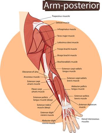 illustration of Arm anatomy