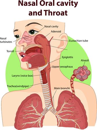 nasal: Vector illustration of Nasal and oral cavities Illustration