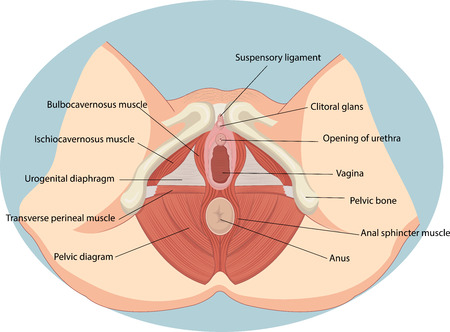 Vector illustration of Female reproductive muscles anatomy