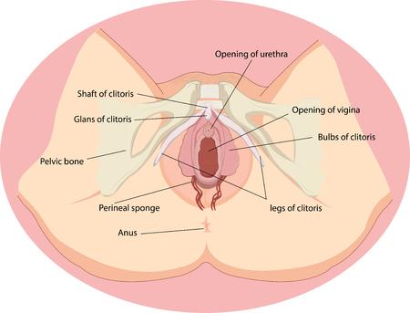 Vector illustration of Female reproductive organs anatomy Vettoriali