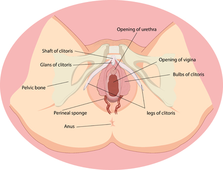 Vector illustration of Female reproductive organs anatomy Çizim