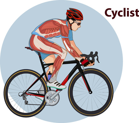 Vector illustration of Cyclist muscle anatomy