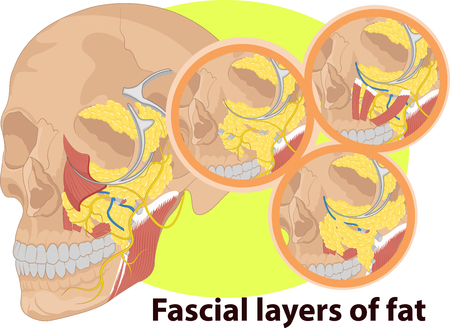 neuralgia: Vector illustration of Facial layer anatomy