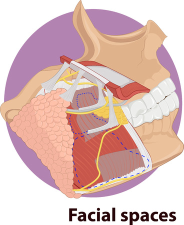 neuralgia: Vector illustration of Facial spaces anatomy Illustration