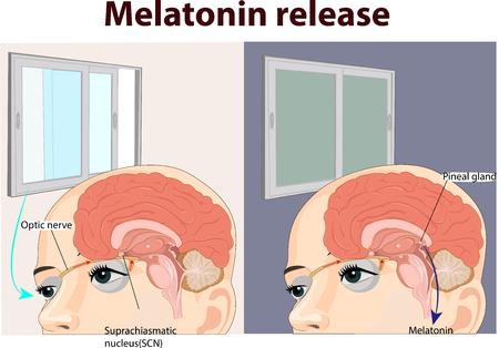 Illustration vectorielle de l'anatomie de la libération de la mélatonine