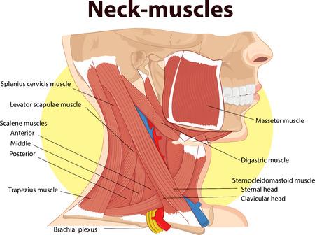 首の筋肉の解剖学のベクトル イラスト