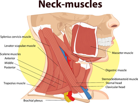 Vector illustration of  Neck muscles anatomy 版權商用圖片 - 71430009
