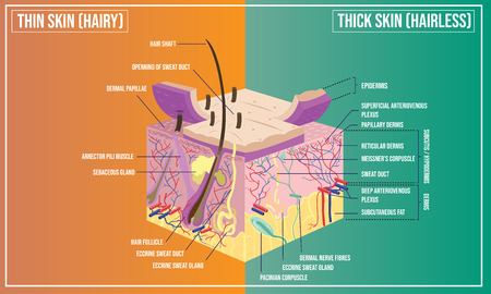 Vector illustration of Skin structure anatomy Stock Illustratie