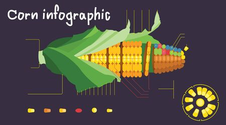 Vector Illustration structure of a corn cob