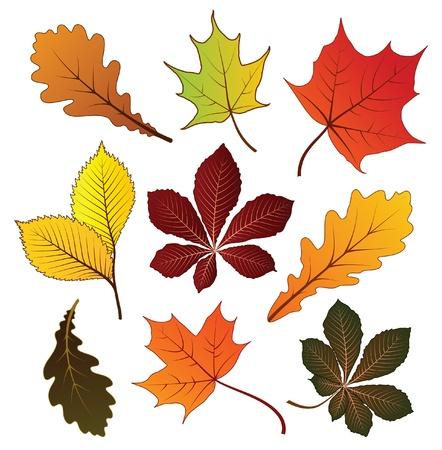 foglie di quercia: Set di autunno, foglie colorate per la progettazione