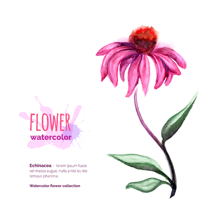 officinal: Echinacea Purpurea, officinal plant on white, hand painted watercolor cone flower Illustration