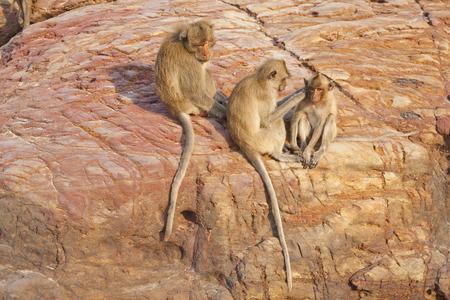 fleas: monkeys picking fleas