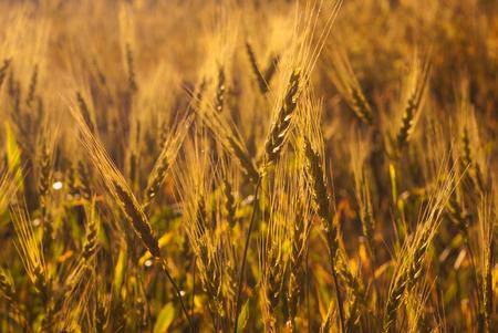 spike: golden spike of wheat