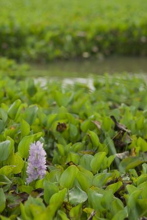 water hyacinth: flower of Water Hyacinth Stock Photo