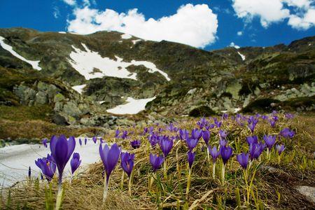 Mountainous landscape with violet crocus Reklamní fotografie