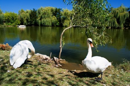 White swans in front of lake photo