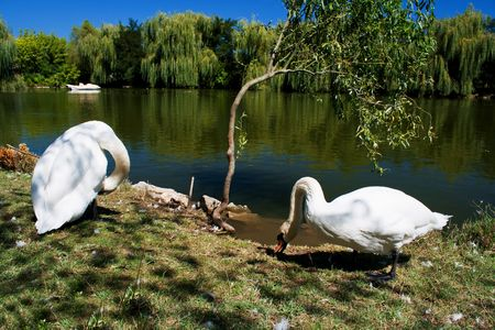 White swans in front of lake Stock Photo - 7137690
