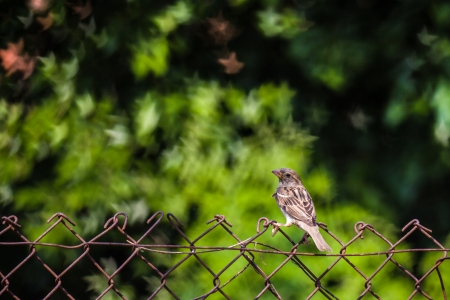 Sparrow on Wire  Small wild brown sparrow on fence  European Stonechat  Saxicola rubicola   House sparrow on barbed wire with beautiful bokeh