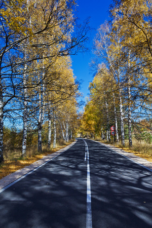 european white birch: Autumn Birch Forest Road. A road through the forest during autumn