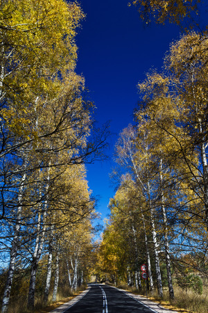 twisty: Autumn Birch Forest Road. A road through the forest during autumn