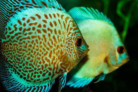 discus: Aquarium with Discus