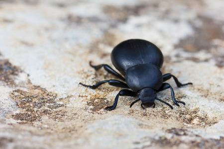 scarabaeidae: Dung beetle  Scarabaeidae Stock Photo