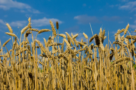 Wheat field against the blue sky. photo