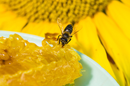 proboscis: Bee gathering honey and nectar with proboscis. Stock Photo