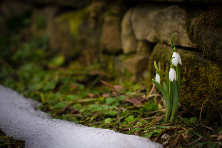 Spring flowers snowdrops (Galanthus nivalis) popping out of the snow in the forest Stock Photo