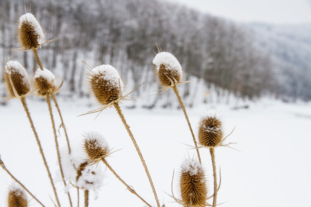 Donkey thistle (Onopordum acanthium) covered with snow in winter. Ordinary ginger Reklamní fotografie