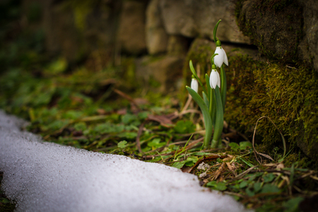 Spring flowers snowdrops (Galanthus nivalis) popping out of the snow in the forest Reklamní fotografie
