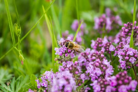 Working bee in Thymus herbal meadow